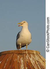 sea gull - bird sea gull