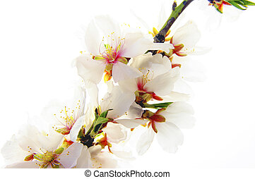 Almond - almond blossom in the spring with the substance...