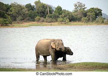 Elephants Drinking - Mother and Calf of Lankesian Elephant...