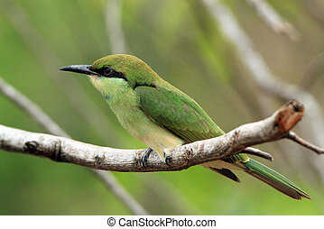 Green Bee-eater Merops Orientalis on a Branch, Bundala...