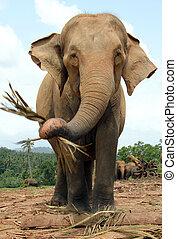 Lankesian Elephant Eating - Lankesian Elephant (Elephas...