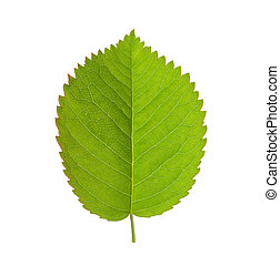 close up green leaf isolated