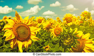 Sunflowers under the blue sky. beautiful rural scene
