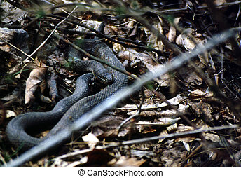 Northern water snake G-2612 - The Northern Water Snake,...