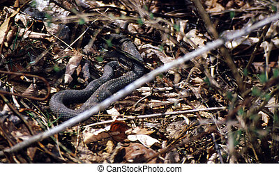 Northern Water Snake G-2615 - The Northern Water Snake,...
