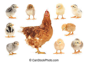 Set of chicken on white - Set of chicken isolated on white,...