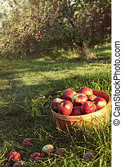 Bushel of apples in the orchard