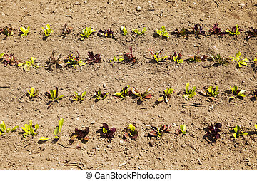 Rows Of Baby Lettuce
