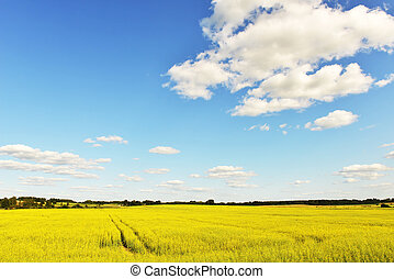 field of yellow rape in summer day