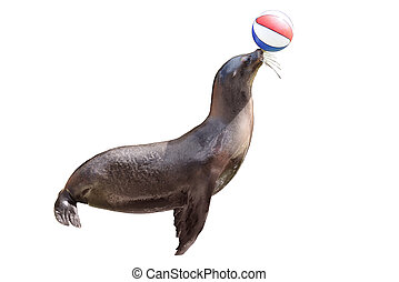 fur seals - trained fur seal playing with ball on  stage