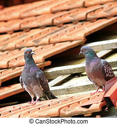 pair of pigeons on damaged roof - pair of pigeons standing...