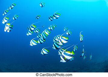 Schooling Coachman swimming blue wa - Schooling Coachmen...