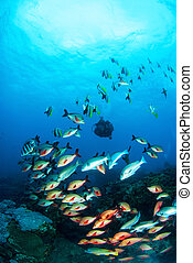 Variety of Colorful fish - Scuba diver and school of...