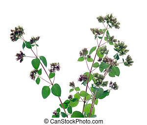 Oregano - oregano plant