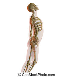 Transparent human male isolated on white looking up with skeleton showing