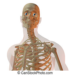 Transparent human male isolated on white looking towards camera with skeleton showing