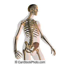 Transparent human male isolated on white looking to left standing with skeleton showing