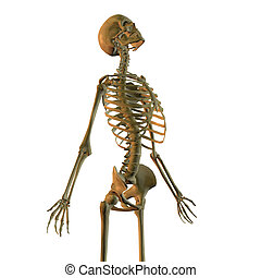 Human skeleton isolated on white looking up