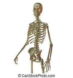 Human skeleton isolated on white looking towards camera