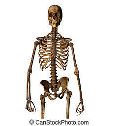 Aging human skeleton isolated on white looking towards...