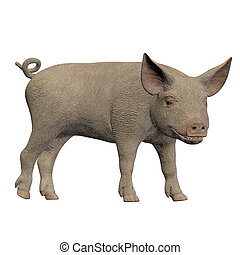 piglet standing isolated on white background