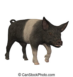 hampshire pig standing isolated on white background