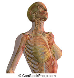 woman looking up with skeleton and muscles showing isolated on white background