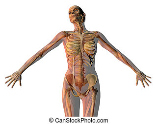 woman outstretched with skeleton and muscles showing isolated on white background