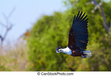 Flying Fish Eagle - Fish eagle in flight