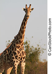 African Giraffes - A male giraffe standing on the banks of...