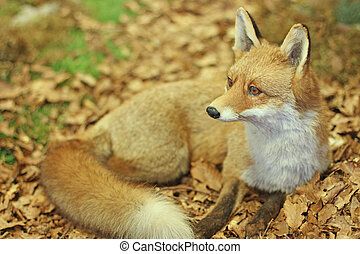 specimen of Fox while resting lying in the middle of the...