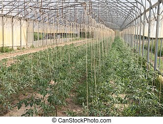 greenhouse for the cultivation of cluster tomatoes 1 -...