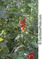 greenhouse for the cultivation of cluster tomatoes 5 -...