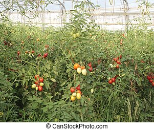 greenhouse for the intensive cultivation of cluster tomatoes...