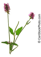 Wood Betony (Stachys officinalis) - Flowering plant in front...