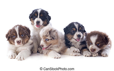puppies australian shepherd  in front of white background