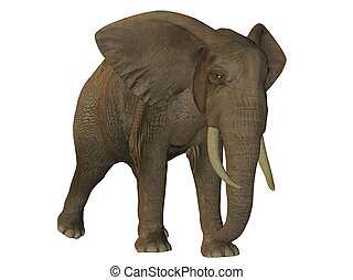 African elephant walking isolated on white background