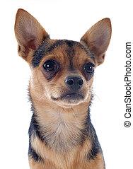 puppy chihuahua - portrait of a cute purebred puppy...
