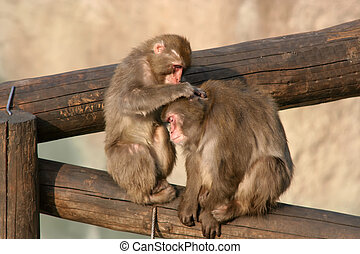 Two young monkeys clean each other a wool. It is...