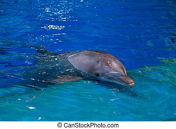 Resting dolphin in bright blue swimming pool