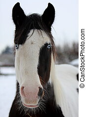 Face to face - Portrait of a Gypsy horse in winter