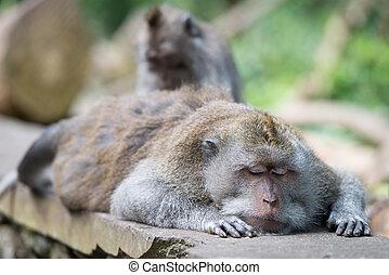 Grooming of sleeping wild big monkey leader