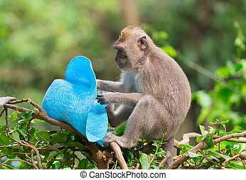 Sly monkey with stolen hat - Playful monkey macaque thief...