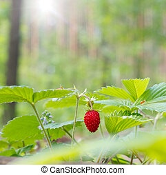 Wild strawberry berry growing in natural forest