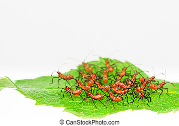 Red wheel bug insects - Zelus longipes, red assassin nymphs,...
