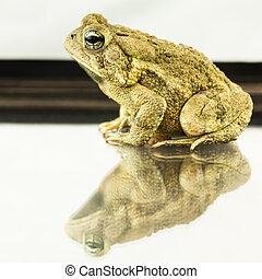 American Toad, Bufo americanus - Large 25 inch American toad...