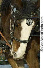 clydesdale horse - Head of clydesdale horse with harness and...