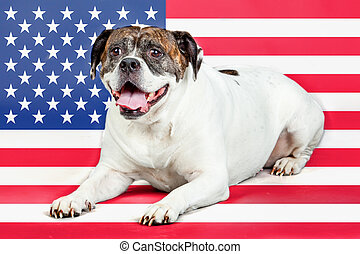 American bulldog with US flag in as background