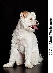 White dog on black background.