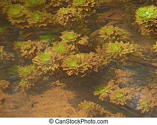 Myriophyllum aquaticum, Parrotfeather underwater, India